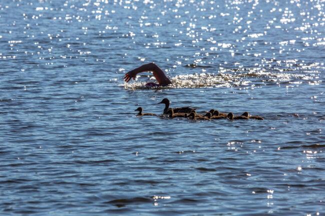 плавание, водные виды спорта, заплыв в Хепоярви, утки, уточки, птицы
