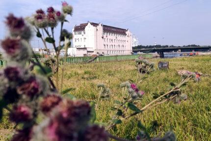 большеохтинский проспект, газон, репейник, Охта, Большеохтинский мост, зелёные насаждения