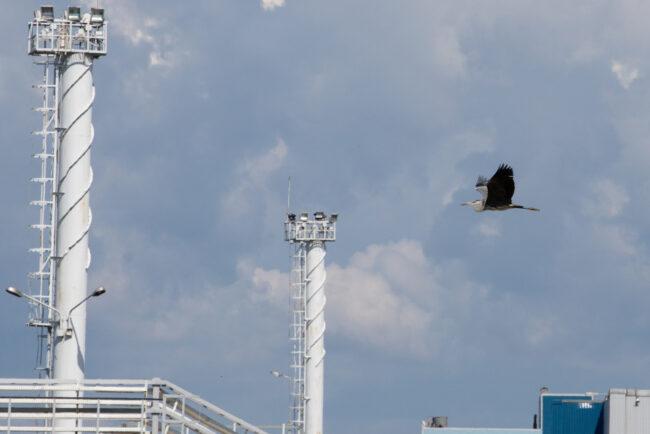 цапли, перелётные птицы, Северная станция аэрации, канализационные очистные сооружения, водоканал