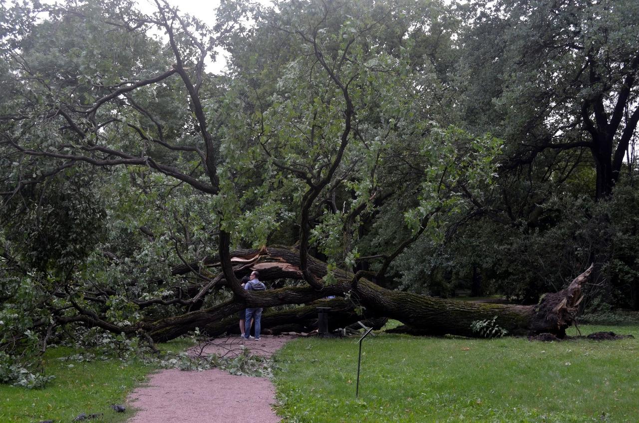 упавшее дерево, дуб черешчатый, ботанический сад